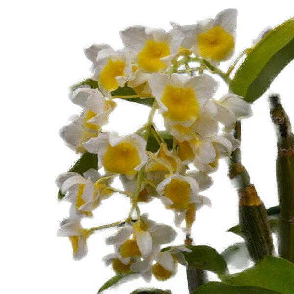 【花なし株】 デンドロビューム パルペブラエ Den.palpebrae (=Den.farmerii var.album) 原種 3号鉢 35cm 開花サイズ(BS)
