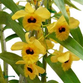 【花なし株】 デンドロビューム フィンブリアタム オキュラタム Den.fimbriatum var. oculatum 原種 3号鉢 40cm 開花サイズ(BS)