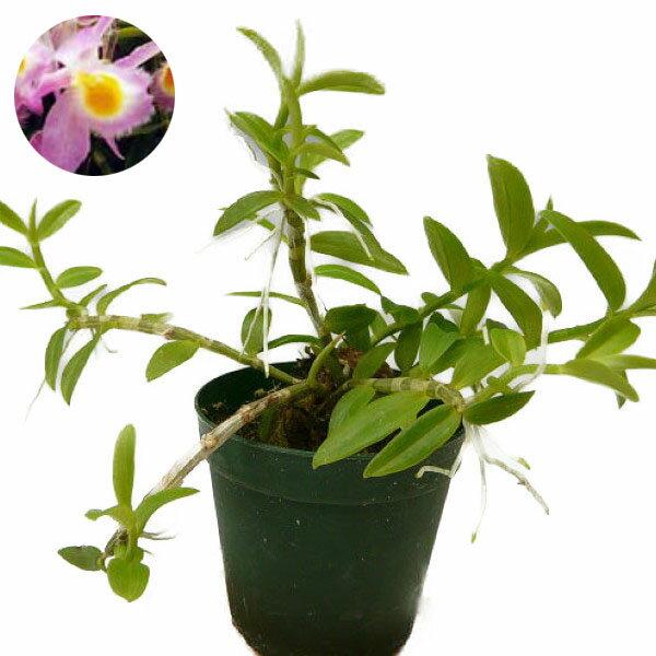 【花なし株】 デンドロビューム ロディゲシー Den.loddigesii 原種 2.5号鉢 15cm 開花サイズ(BS)