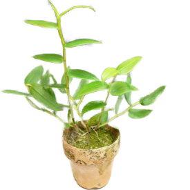 【花なし株】 デンドロビューム インシグネ Den.insigne 原種 3号鉢 25cm 開花サイズ(BS)