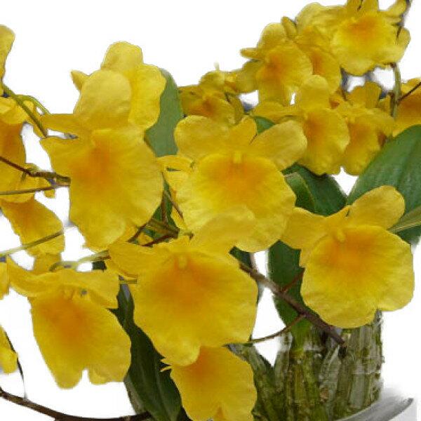 【花なし株】 デンドロビューム アグレガタム Den.aggregatum (=Den.lindley) 原種 3号鉢 15cm 開花サイズ(BS)