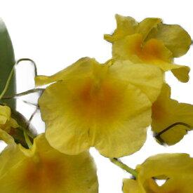 【花なし株】 デンドロビューム アグレガタム マジャス 'フロリダサンシャイン' Den.aggregatum var. majus 'Florida Sunshine' HCC/AOS 原種 3号鉢 15cm 開花サイズ(BS)