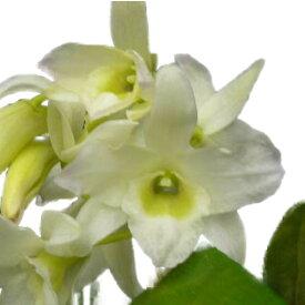 【花なし株】 デンドロビューム エンジェルベービー 'グリーンアイ' Den.Angel Baby 'Green Ai' 交配種 2.5号鉢 20cm 開花サイズ(BS)