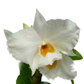 【花なし株】 デンドロビューム フォーミディブル Den.Formidible 交配種 3号鉢 30cm 開花サイズ(BS)