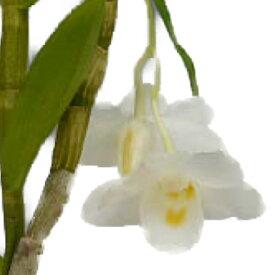 【花なし株】 デンドロビューム アーキュアタム Den.arcuatum 原種 2.5号鉢 35cm 開花サイズ(BS)