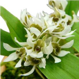 【花なし株】 デンドロビューム ペグアナム Den.peguanum 原種 2.5号鉢 10cm 1作開花サイズ(NBS)