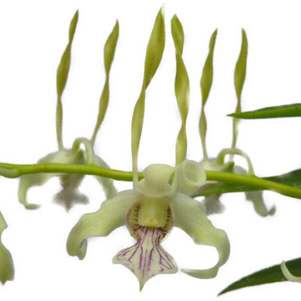 【花なし株】 デンドロビューム アンテナタム Den.antenatum 原種 3.5号鉢 40cm 開花サイズ(BS)