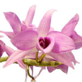 【花なし株】 デンドロビューム スーパーバム ギガンテウム Den.superbum var. giganteum 原種 3号鉢 35cm 開花サイズ(BS)