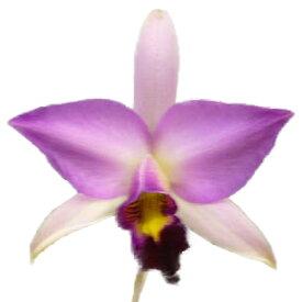 【花なし株】 レリア アンセプス ゲレーロ L.anceps var. Guerrero 原種