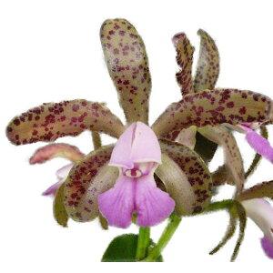 【花なし株】 カトレア グッタータ パープレア C.guttata var. purpurea 原種 芳香あり 5号鉢 50cm 開花サイズ(BS)