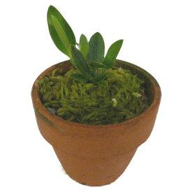 【花なし株】 ソフロニチス セルヌア オーレア S.cernua var. aurea 原種 2号鉢 10cm 2作開花サイズ(2BS)