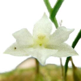 【花なし株】 ネオラウケア プルケラ アルバ Nla.pulchella var. alba 原種 2号鉢 10cm 開花サイズ(BS)