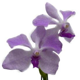 【花なし株】 バンダ セルレア ピンク V.coerulea (Pink) 原種 3号鉢 30cm 開花サイズ(BS)