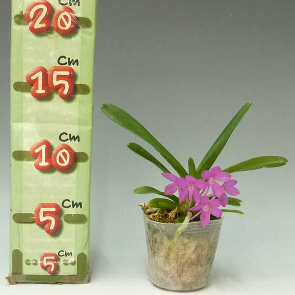 アスコフィネチア プチブーケAscf.Petit Bouquet【花なし株】【2号鉢】