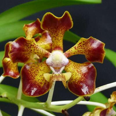【花なし株】 バンダ メリリー V.merrillii (現物品) 原種