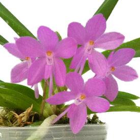 【花なし株】 アスコフィネチア プチブーケ Ascf.Petit Bouquet 交配種 2号鉢 15cm 開花サイズ(BS)