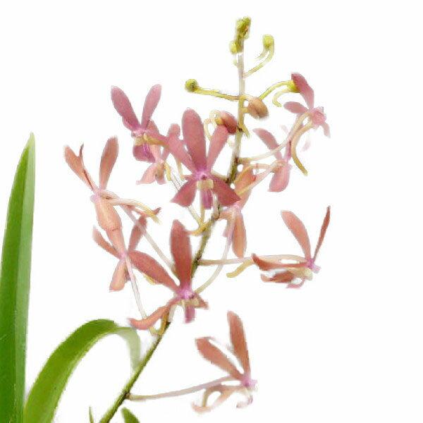 【花なし株】 アスコフィネチア ピーチェス Ascf.Peaches 3号鉢 25cm 開花サイズ(BS)