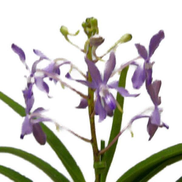 【花付き株】 ヨネザワラ ブルースター Yzwr.Blue Star 交配種 3号鉢 25cm 開花サイズ(BS)
