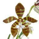 【花なし株】 トリコグロッチス Trgl.fasciata 写真より下の葉は取れています。 原種 5号鉢 120cm 開花サイズ(BS)