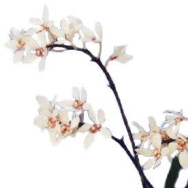 【花なし株】 サルコキラス フィッツゲラルディー Sarco.fitzgerardii 大サイズ 3芽 原種 4号鉢 25cm 開花サイズ(BS)