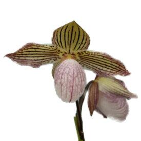 【花なし株】 パフィオペディラム グロリアノーグル Paph.Gloria Naugle 交配種 3号鉢 15cm 開花サイズ(BS)