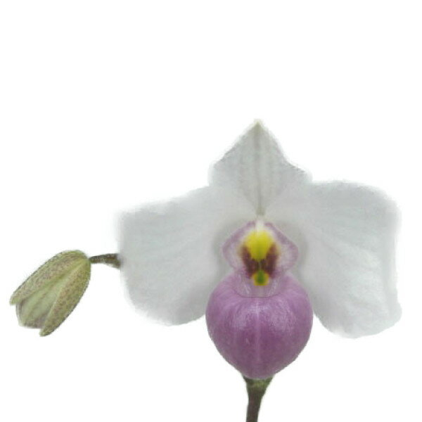 【つぼみ付き株】 パフィオペディラム デレナティー Paph.delenatii 原種 芳香あり 3号鉢 15cm 開花サイズ(BS)