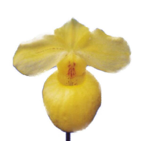 【花なし株】 パフィオペディラム アルメニアカム Paph.armeniacum 原種 3号鉢 15cm 開花サイズ(BS)