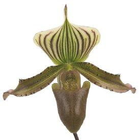 【花なし株】 パフィオペディラム ニグリタム 'デイヤックウォリアー' Paph.nigritum 'Dayak Warrior' 原種 3.5号鉢 25cm 開花サイズ(BS)
