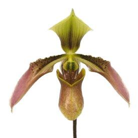 【花なし株】 パフィオペディラム ハイナネンシス Paph.hainanensis 原種 3号鉢 25cm 開花サイズ(BS)