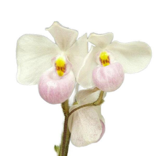 【花なし株】 パフィオペディラム デレナティー Paph.delenatii 1花茎3輪付き 多輪性 原種 芳香あり 3号鉢 25cm 開花サイズ(BS)