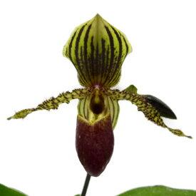 【花なし株】 パフィオペディラム トランスバール Paph.Transvaal 交配種 3号鉢 25cm 開花サイズ(BS)