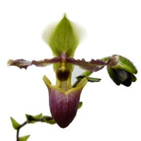 【花なし株】 パフィオペディラム ビクトリアマリエ Paph.victoria-mariae 原種 3号鉢 30cm 開花サイズ(BS)