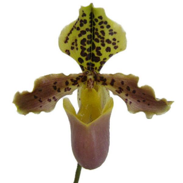 【花なし株】 パフィオペディラム ヘンリーアナム Paph.henryanum 原種 3号鉢 20cm 開花サイズ(BS)