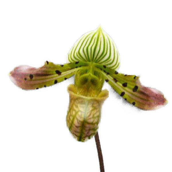 【花付き株】 パフィオペディラム ベナスタム Paph.venustum 原種 3号鉢 25cm 開花サイズ(BS)