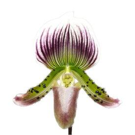 【花なし株】 パフィオペディラム モーディエ コロラタム 'ロスオソス' Paph.Maudiae var. coloratum 'Los Osos' AM/AOS 交配種 3号鉢 50cm 開花サイズ(BS)