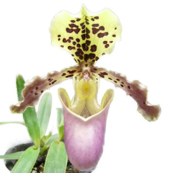 【花付き株】 パフィオペディラム ヘンリーアナム Paph.henryanum 原種 3号鉢 20cm 開花サイズ(BS)