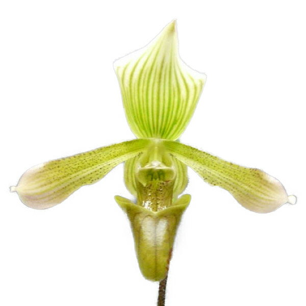 【花なし株】 パフィオペディラム ジャバニカム フローレッセンス Paph.javanicum var. florescens 原種 3号鉢 30cm 開花サイズ(BS)