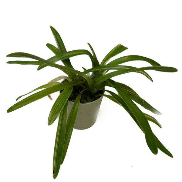 【花なし株】 パフィオペディラム インシグネ バリエガータ Paph.insigne var. variegata 原種 3号鉢 25cm 開花サイズ(BS)