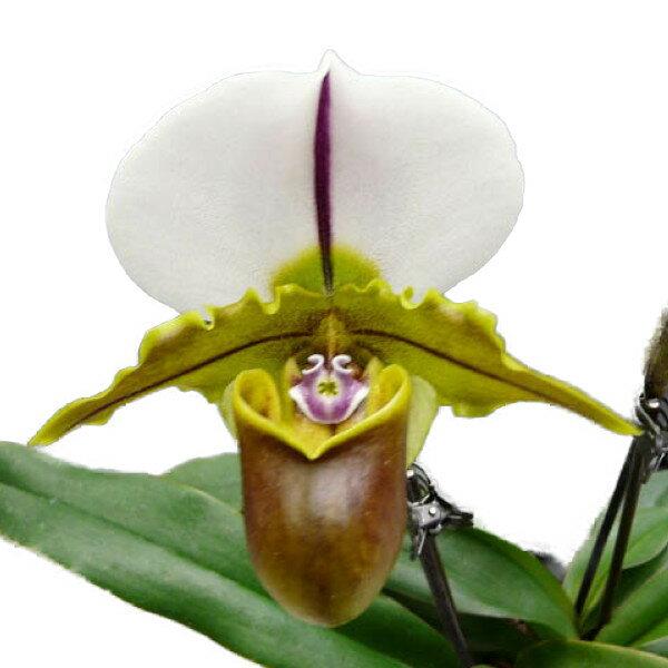 【花付き株】 パフィオペディラム ブルーノ 'モデル' Paph.Bruno 'Model' AM/AOS(85) 花2本付き 交配種 4号鉢 35cm 開花サイズ(BS)