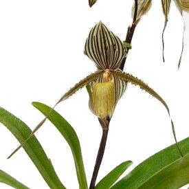 【花なし株】 パフィオペディラム セントスイシン Paph.St.Swithin 交配種 4号鉢 40cm 開花サイズ(BS)