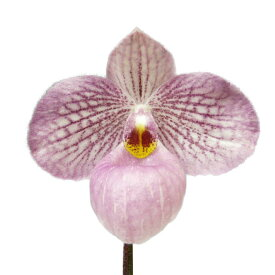 【花なし株】 パフィオペディラム マジックランタン Paph.Magic Lantern 交配種 3号鉢 15cm 開花サイズ(BS)