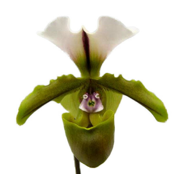 【花なし株】 パフィオペディラム スピセリアナム Paph.spicerianum 原種 3号鉢 20cm 開花サイズ(BS)