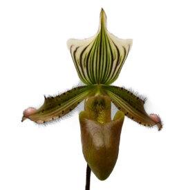 【花なし株】 パフィオペディラム ニグリタム Paph.nigritum 原種 3号鉢 20cm 開花サイズ(BS)