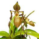 【花なし株】 パフィオペディラム サンデリアナム Paph.sanderianum 上から3枚目の葉が途中で折れ 葉切れあり 原種 3.5号鉢 20cm 1作開…
