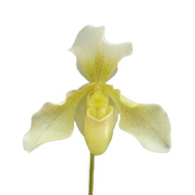 【花なし株】 パフィオペディラム フィップス Paph.Phips 交配種 3号鉢 20cm 開花サイズ(BS)