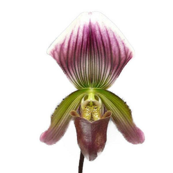 【花なし株】 パフィオペディラム タイランデンセ コロラタム Paph.thailandense var. coloratum 原種 2.5号鉢 35cm 開花サイズ(BS)