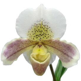 【花なし株】 パフィオペディラム ビアオハイ 'スプリングホワイト' Paph.Via Ojai 'Spring White' 交配種 3号鉢 20cm 開花サイズ(BS)