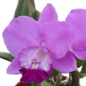 【花なし株】 レリオカトレア アロハケース 'サンテパルク' Lc.Aloha Case 'Sante Park' BM/JOGA(2009) (M-1101) 交配種 3号鉢 25cm 開花サイズ(BS)