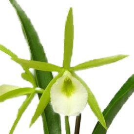 【花なし株】 プロカタボラ ウォルナットバレイライムスターズ Procatavola (Eucattlevola)Walnut Valley Lime Stars 交配種 芳香あり 3号鉢 25cm 開花サイズ(BS)