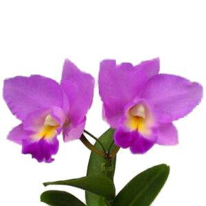 【花なし株】 レリオカトレア コスモアロハ Lc.Cosmo-Aloha 交配種 芳香あり 3号鉢 20cm 開花サイズ(BS)